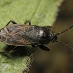 bundás bodobács - Megalonotus chiragra