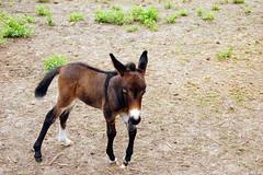 animal, donkey, pack animal, fauna, pasture, wildlife,