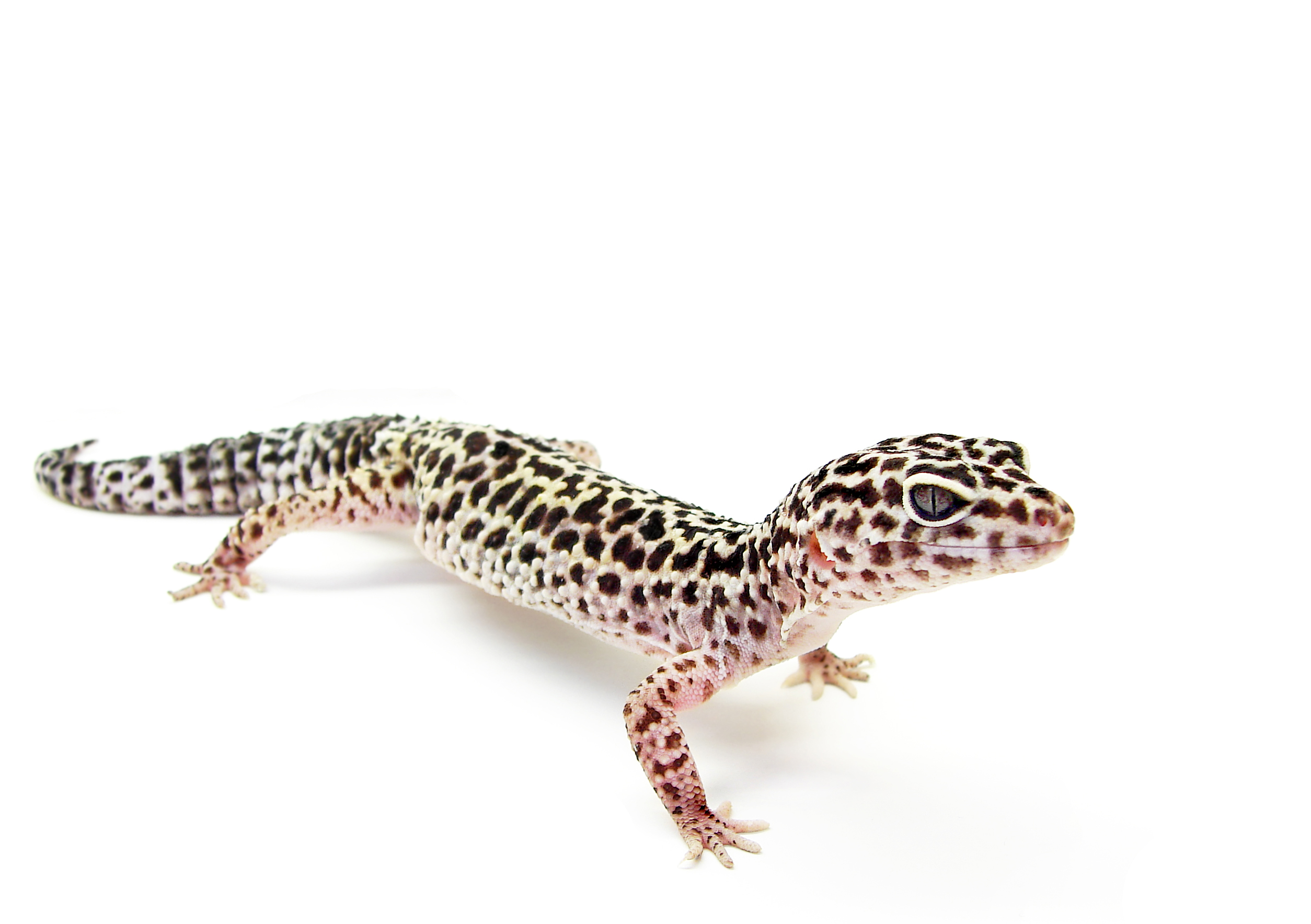 30 Cool Leopard Gecko Names - Leopard Gecko Talk  30 Cool Leopard...