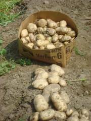 Potatoes for food pantry