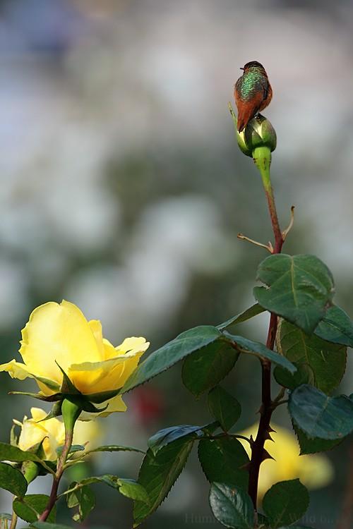 Allen's Hummingbird04091-2