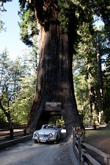 Chandelier Tree in Leggett California