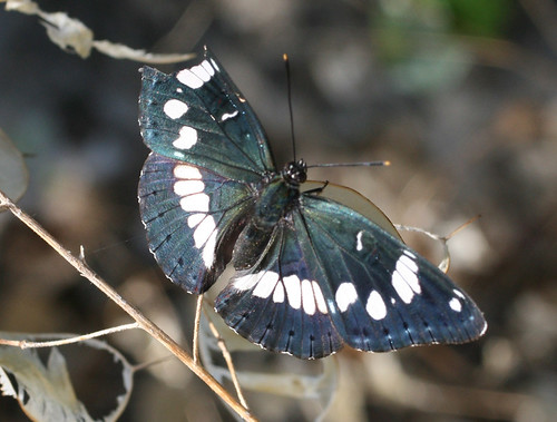 White Admiral Butterfly (Limenitis camilla) of the broken wing, Corfu