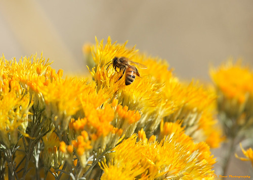 Honey Bee on Rabbit Brush