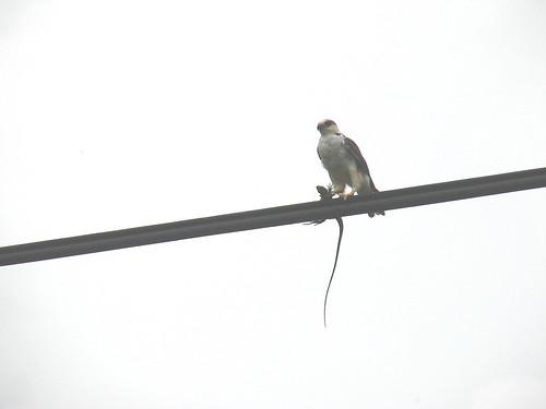 Pearl Kite Panama May 2007