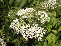 lilac(0.0), apiales(0.0), blossom(0.0), shrub(0.0), iberis sempervirens(0.0), candytuft(0.0), lilac(0.0), anthriscus(0.0), meadowsweet(0.0), flower(1.0), cow parsley(1.0), cicely(1.0), wildflower(1.0), flora(1.0),