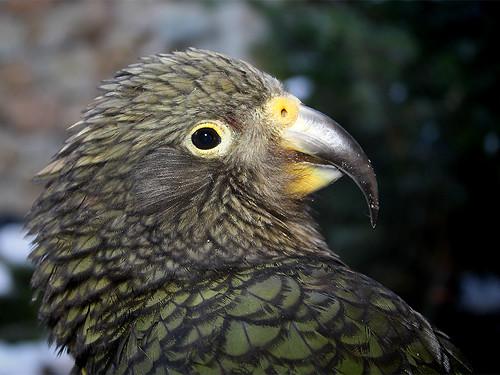 Kea Parrot Pet Kea Parrot Nestor