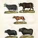 bertuch bison 3