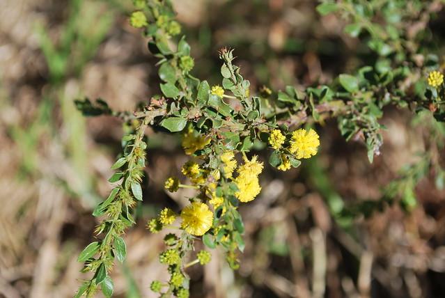 Header of Acacia paradoxa