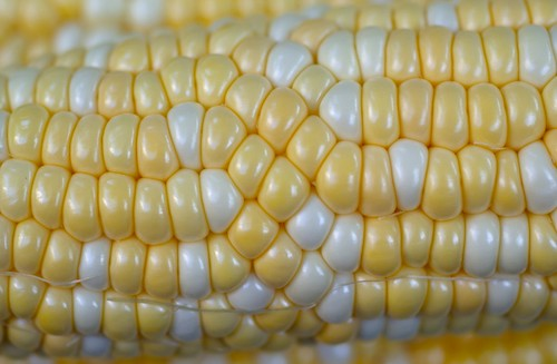 corn kernel phyllotactic defect