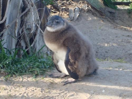 penguin-fur-coat | Bet...