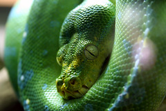 animal, serpent, western green mamba, snake, reptile, organism, macro photography, green, fauna, close-up, scaled reptile, wildlife,