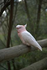 animal, branch, wing, pet, fauna, cockatiel, beak, bird, wildlife,