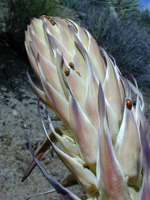 Yucca in Munch Canyon