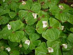 annual plant, flower, leaf, plant, herb, flora, green, ivy,