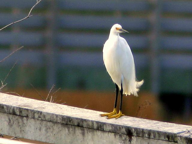 Snowy Egret 20090118