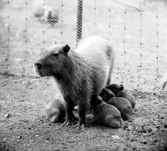 Artis-nieuws. Capibari met vijf jongen