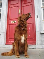 animal, dog, pet, mammal, irish setter, setter, english cocker spaniel, spaniel,