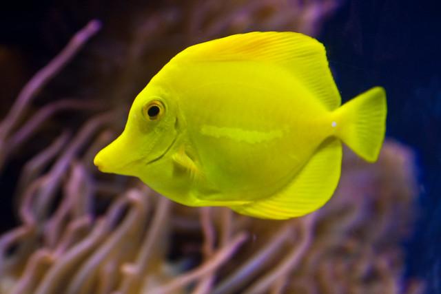 Yellow tang fish flickr photo sharing for Yellow tang fish