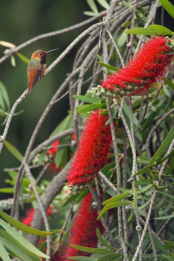 Allen's Hummingbird081-14