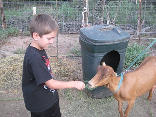 Milking the Goats