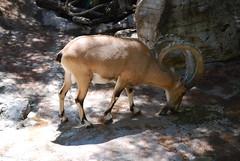 animal, nature, mammal, horn, fauna, bighorn, wildlife,