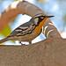 Yellow Throated Warbler by billkominsky 