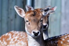 European Fallow Deer (20091020-110406-PJG)