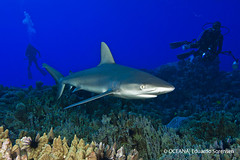 coral reef, animal, fish, shark, marine biology, underwater, carcharhiniformes, reef, requiem shark, tiger shark,
