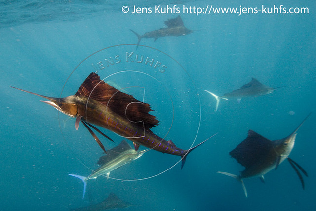 Sailfish - Segelfisch - Marlin