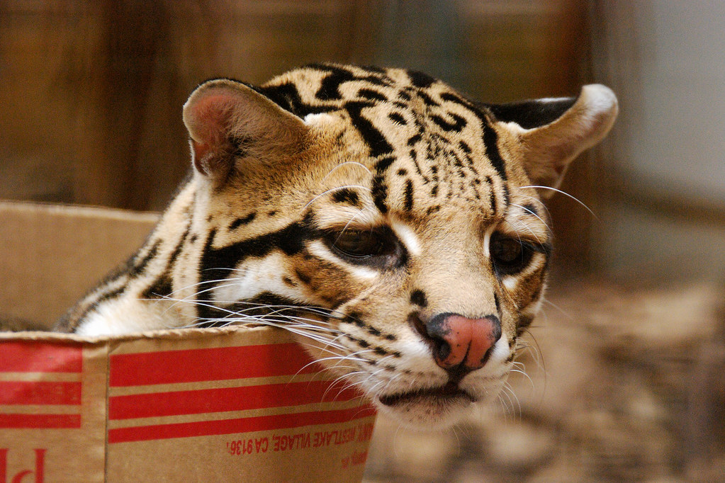 Sad-Looking Ocelot