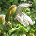 bush beardtongue - Photo (c) randomtruth, some rights reserved (CC BY-NC-SA)
