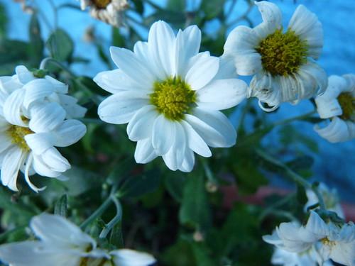 P ssaros e flores cris ntemos - Como cultivar crisantemos ...