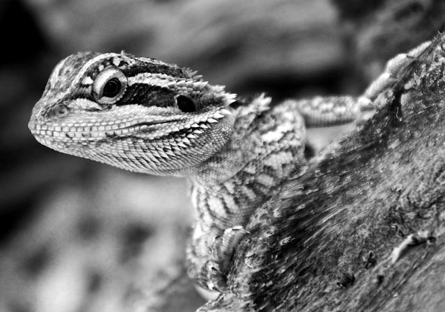 Bearded Dragon | Flickr - Photo Sharing!