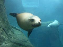 animal, seals, sea lion, marine mammal, marine biology,