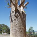 Small photo of Boab Tree. Adansonia gregorii. Kings Park. Perth