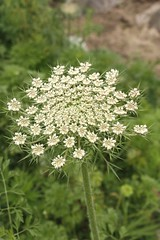 yarrow(0.0), vegetable(0.0), cow parsley(0.0), cicely(0.0), anthriscus(0.0), meadowsweet(0.0), caraway(0.0), apiales(1.0), flower(1.0), plant(1.0), subshrub(1.0), herb(1.0), wildflower(1.0), flora(1.0), angelica(1.0), meadow(1.0),