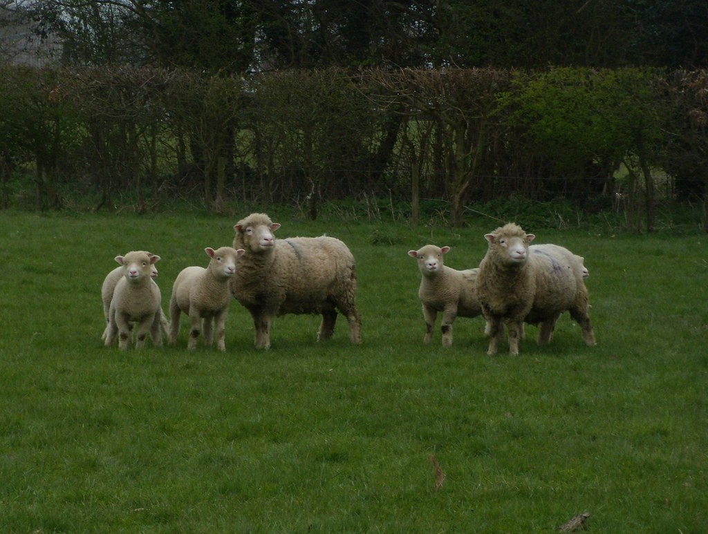 Sheep Staplehurst to Headcorn