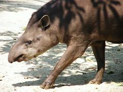 animal, fauna, tapir, wildlife,