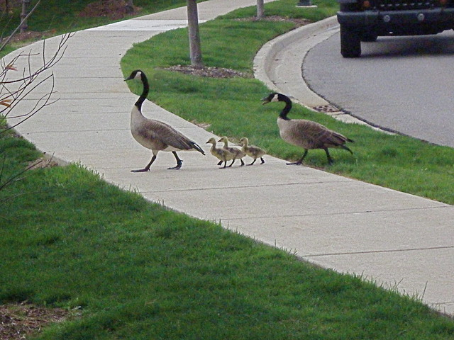 how to get rid of geese in pond