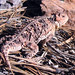 Pygmy Short-horned Lizard - Photo (c) S Reilly, some rights reserved (CC BY-NC-ND)