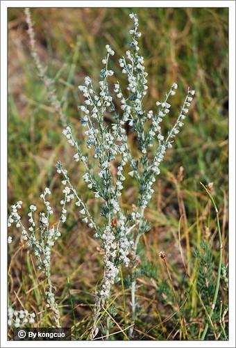 内蒙古植物照片-菊科蒿属冷蒿