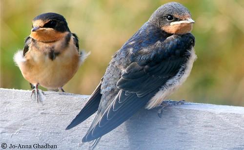 usa birds massachusetts unitedstatesofamerica barnswallow hirundorustica forthill capecodma easthamma forthilleastham capecodbirds