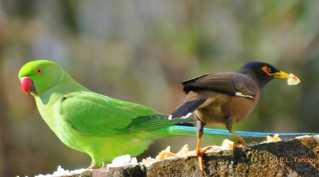 True Friendship - Caring And Sharing (Parakeet & Myna)