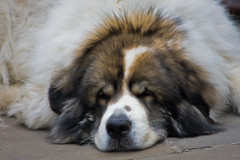 great pyrenees(0.0), dog breed(1.0), animal(1.0), moscow watchdog(1.0), dog(1.0), caucasian shepherd dog(1.0), tornjak(1.0), karakachan dog(1.0), st. bernard(1.0), carnivoran(1.0),