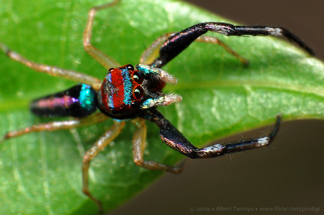 Colorful jumping spider - photo#26