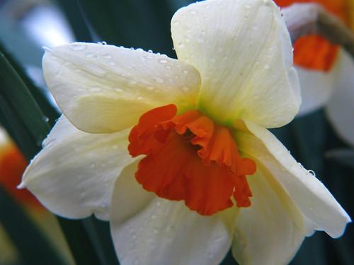 Narcis 'Geranium'