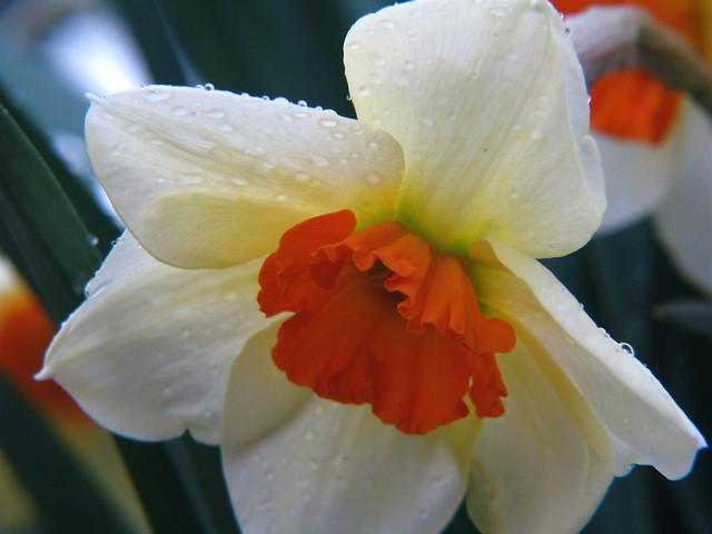 Foto: Narcis 'Geranium'