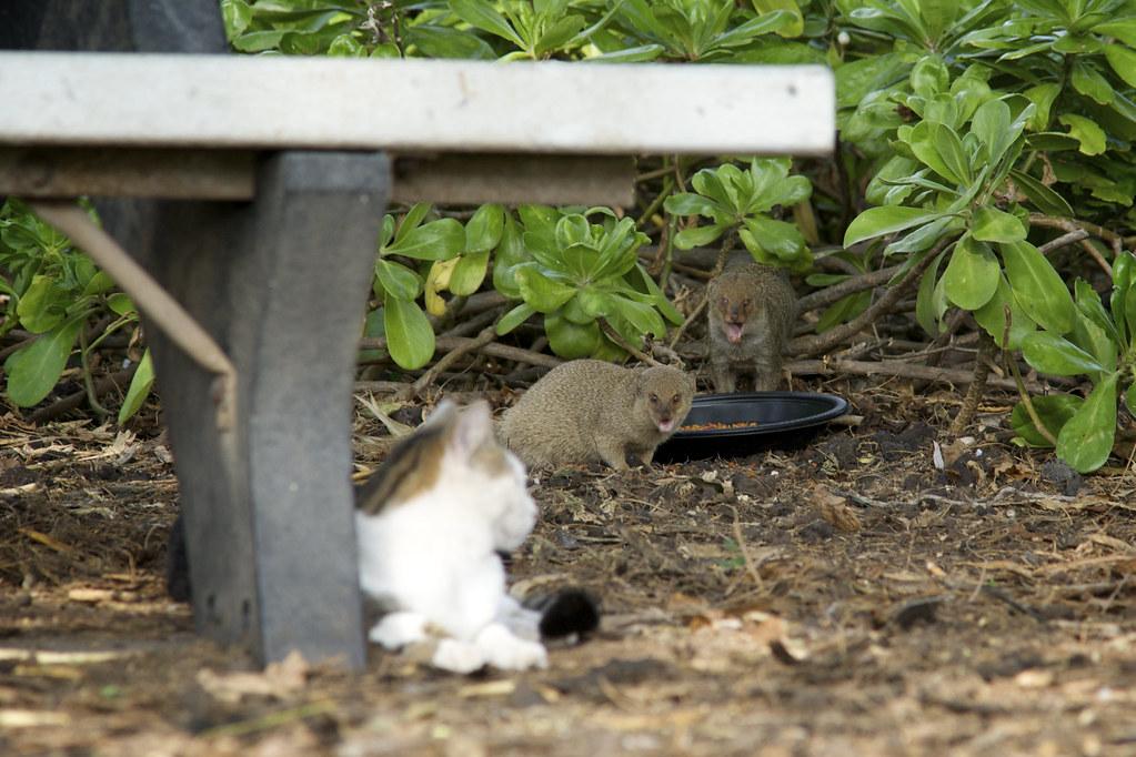 Cat Watching Mongeese Eating Cat Food