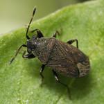 homoki kisbodobács - Stygnocoris fuligineus